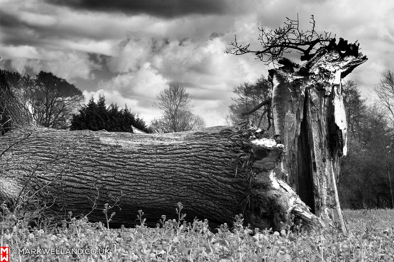 Downed Oak Tree - Storm Katie